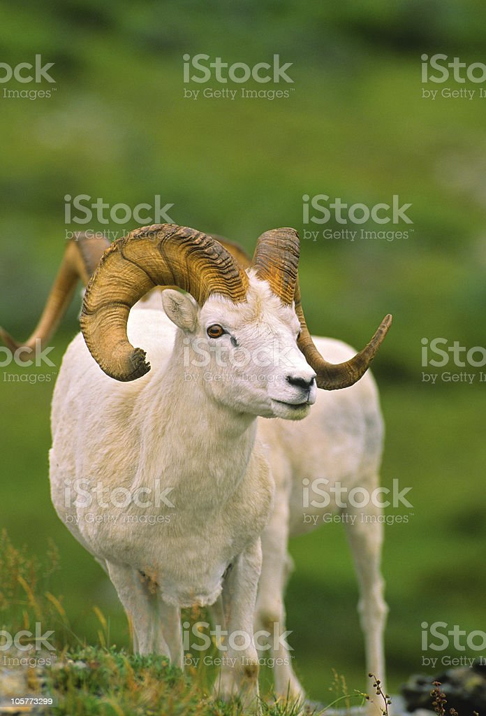 Full Curl Dall Sheep Ram royalty-free stock photo