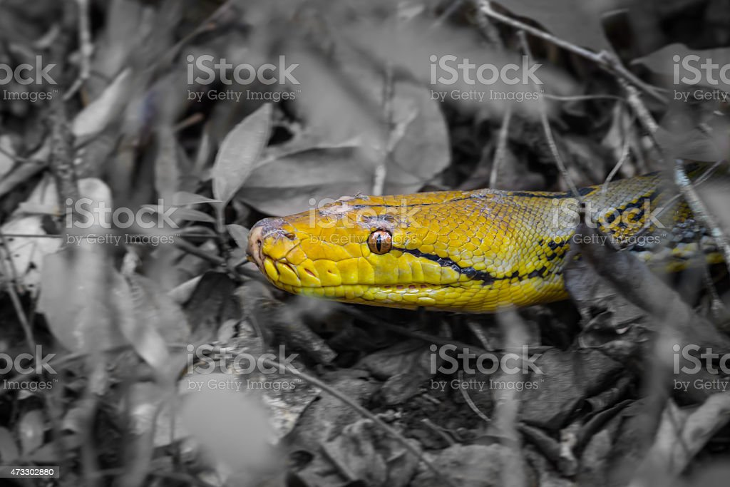 Full detail of Reticulated python stock photo
