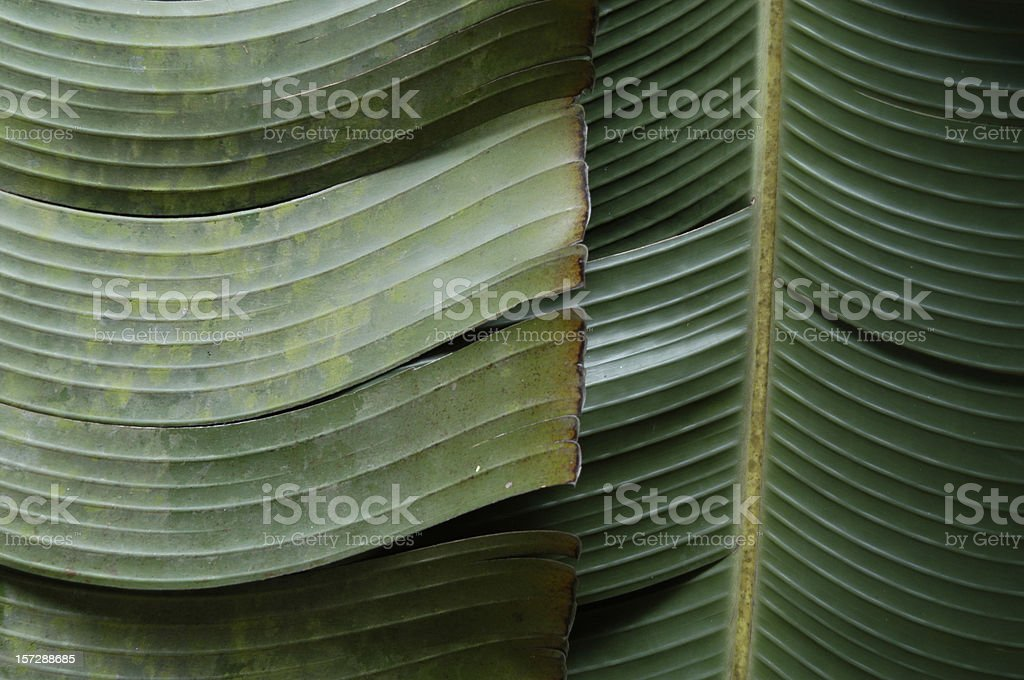 Full Frame Banana Palm Fronds stock photo