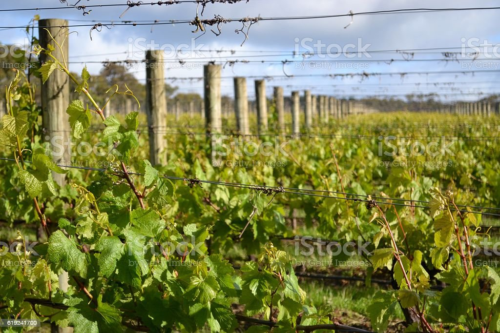 Full frame image of sprouting green vines in winery vineyard stock photo