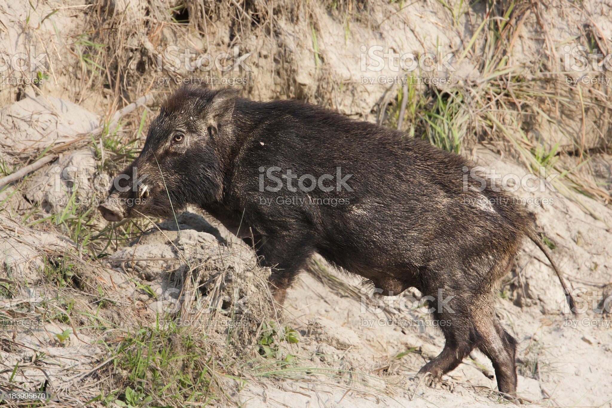 full frame of Wild boar male in Nepal royalty-free stock photo