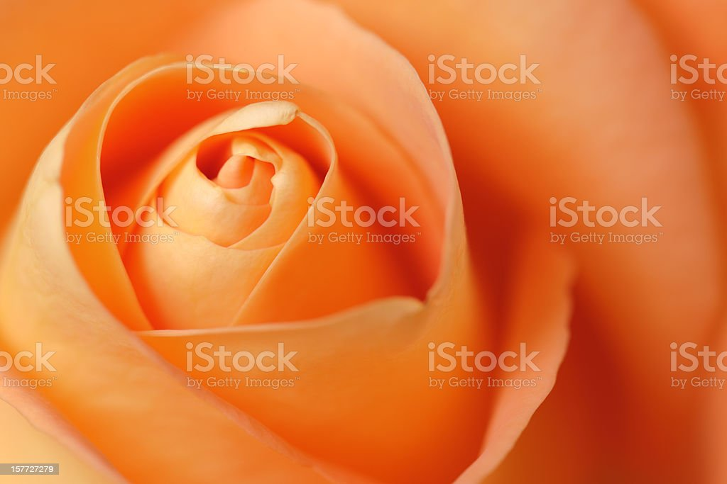 Full Frame Orange Rose Selective Focus royalty-free stock photo