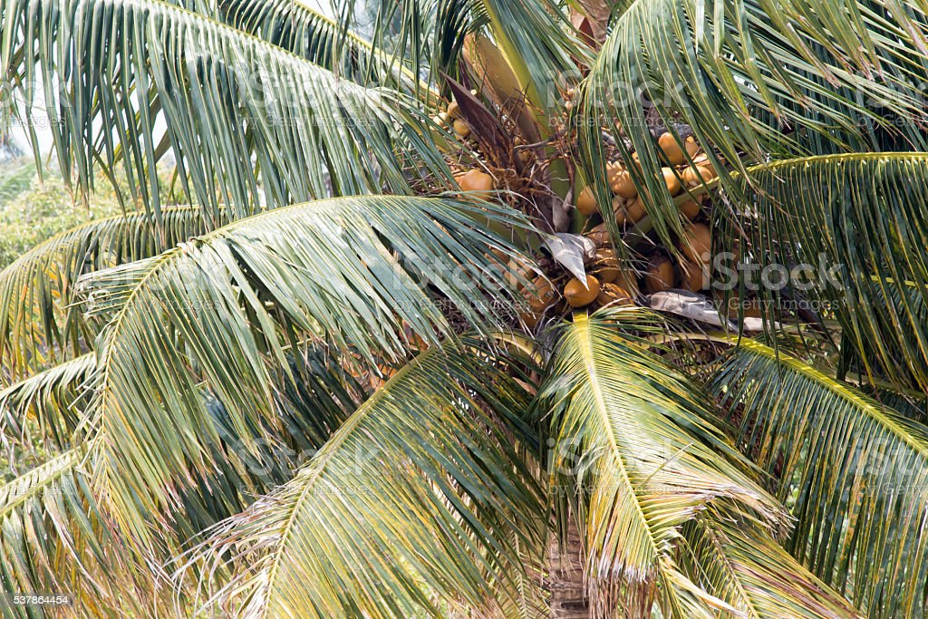 Full frame palm tree with coconuts stock photo