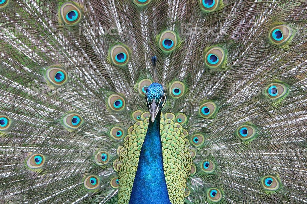 Full Frame Peacock stock photo