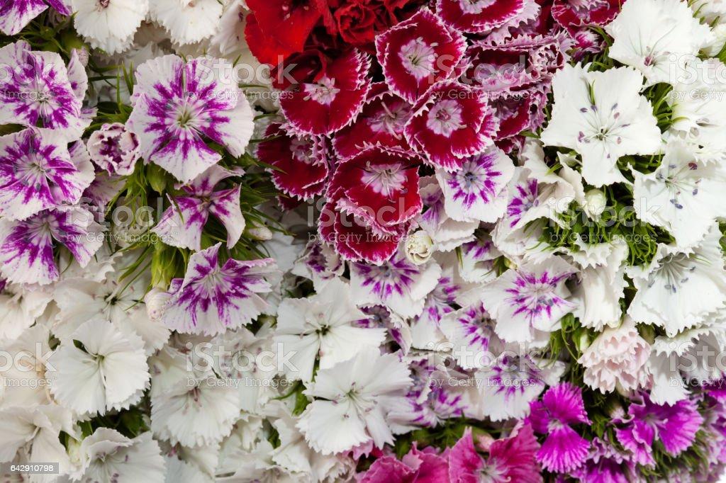 Full Frame Photo Of Sweet William Flowers stock photo