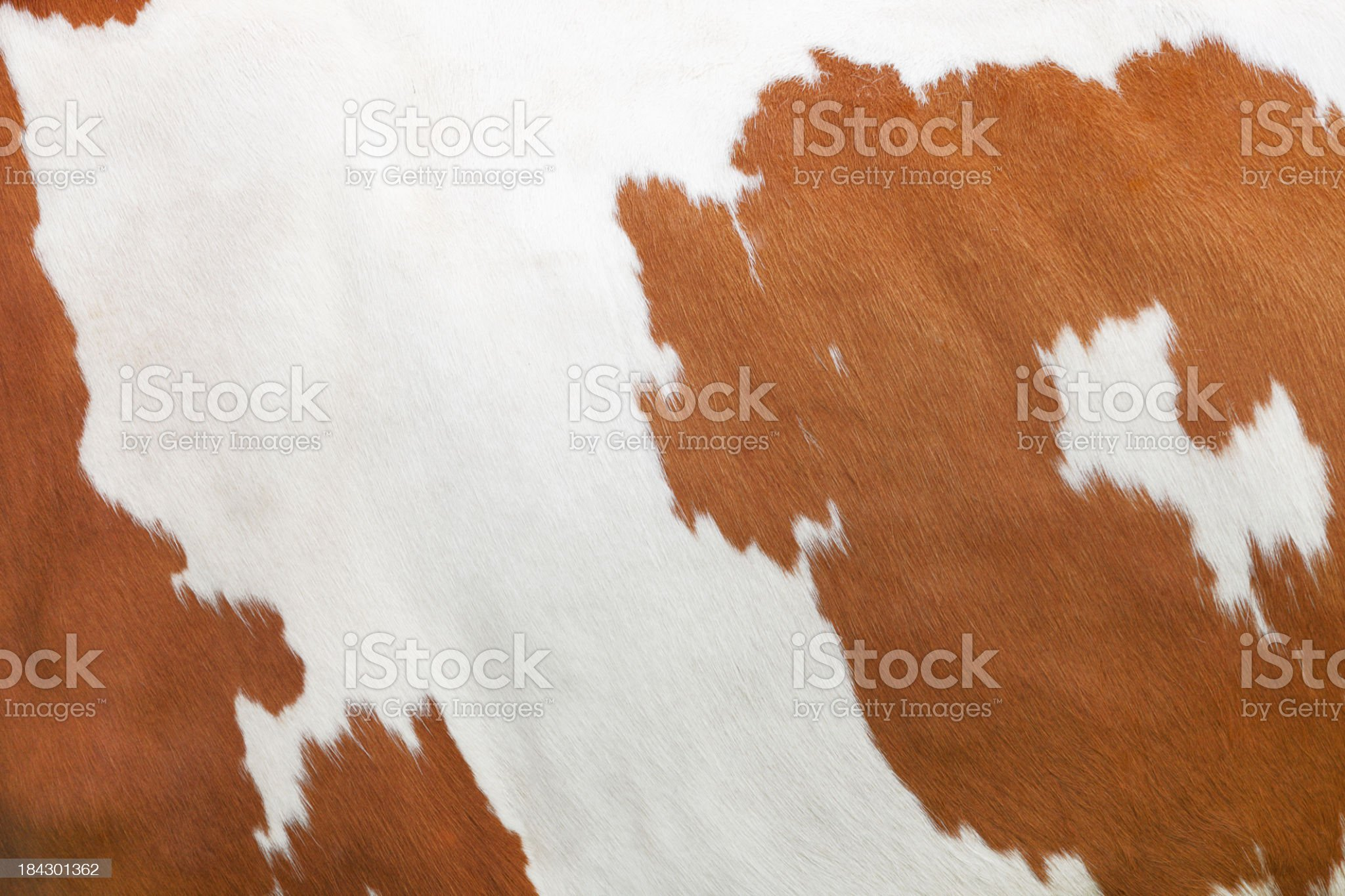Full framed picture of tanned brown and white cow skin royalty-free stock photo