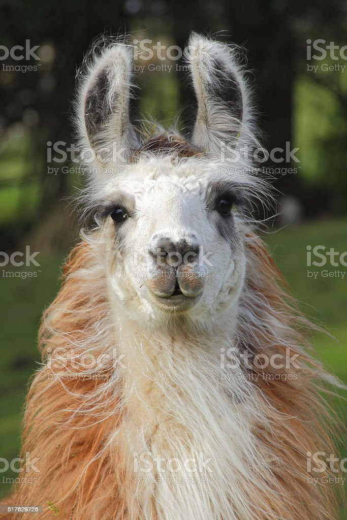 Full Frontal Female Llama stock photo