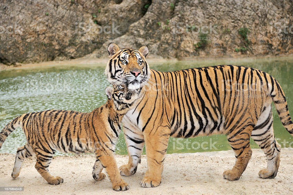 Full grown Bengal Tiger watching over his Cub stock photo