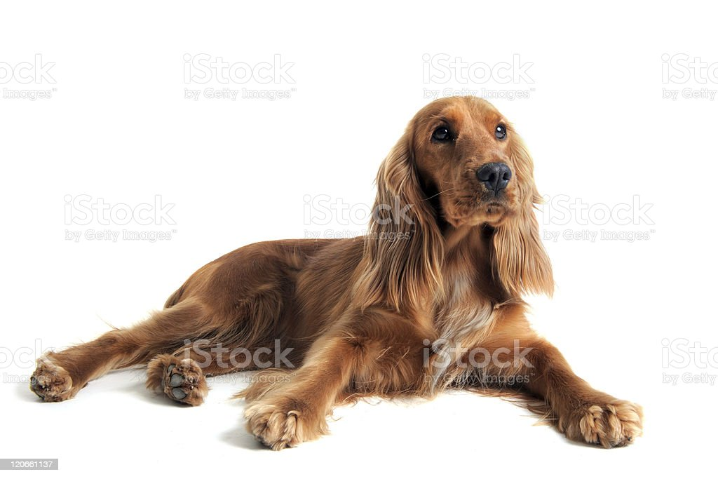 Full grown English cocker spaniel on a white background stock photo
