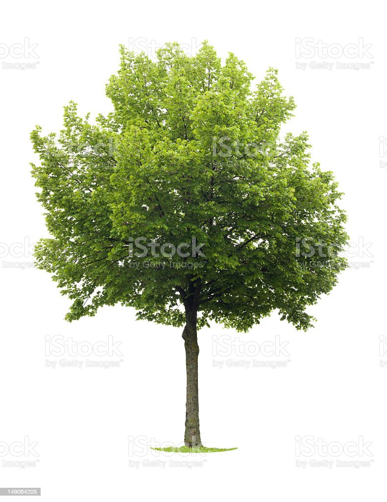 A full grown green linden tree royalty-free stock photo