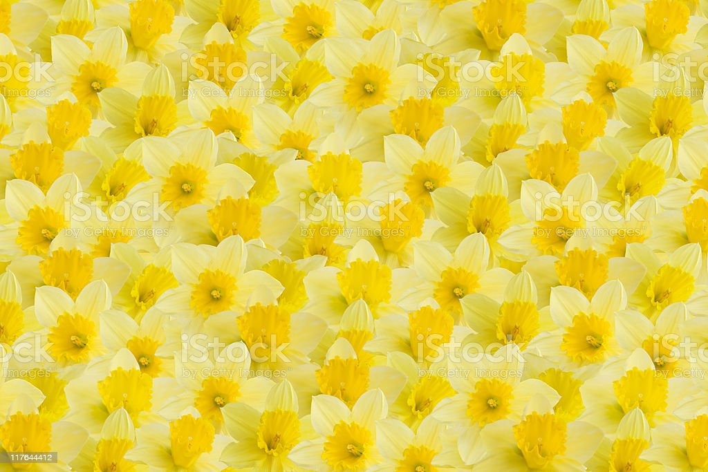 A full image of a daffodil background royalty-free stock photo