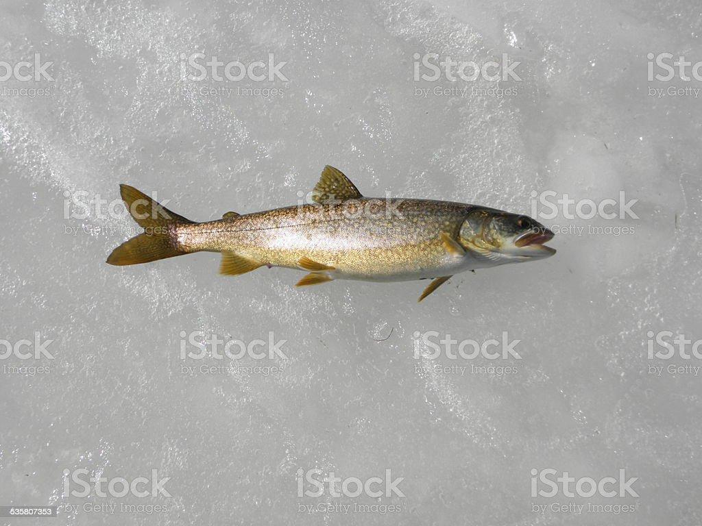 full lake trout  on shiney ice. stock photo