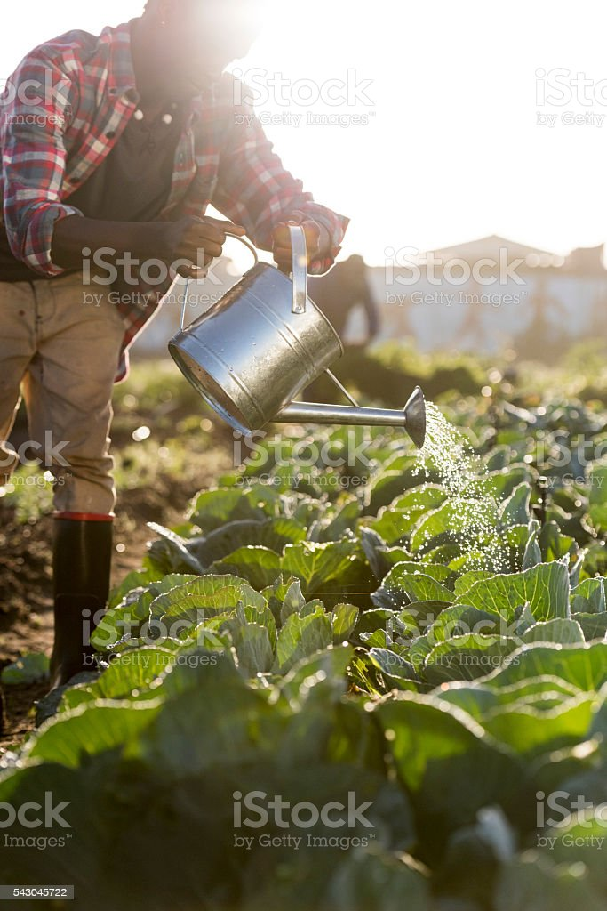 Full Length African Man watering Vegetables watering can stock photo