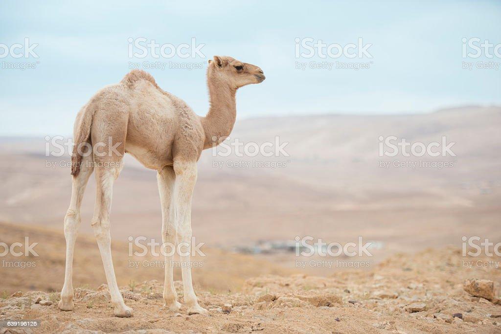 Full length camel calf. stock photo