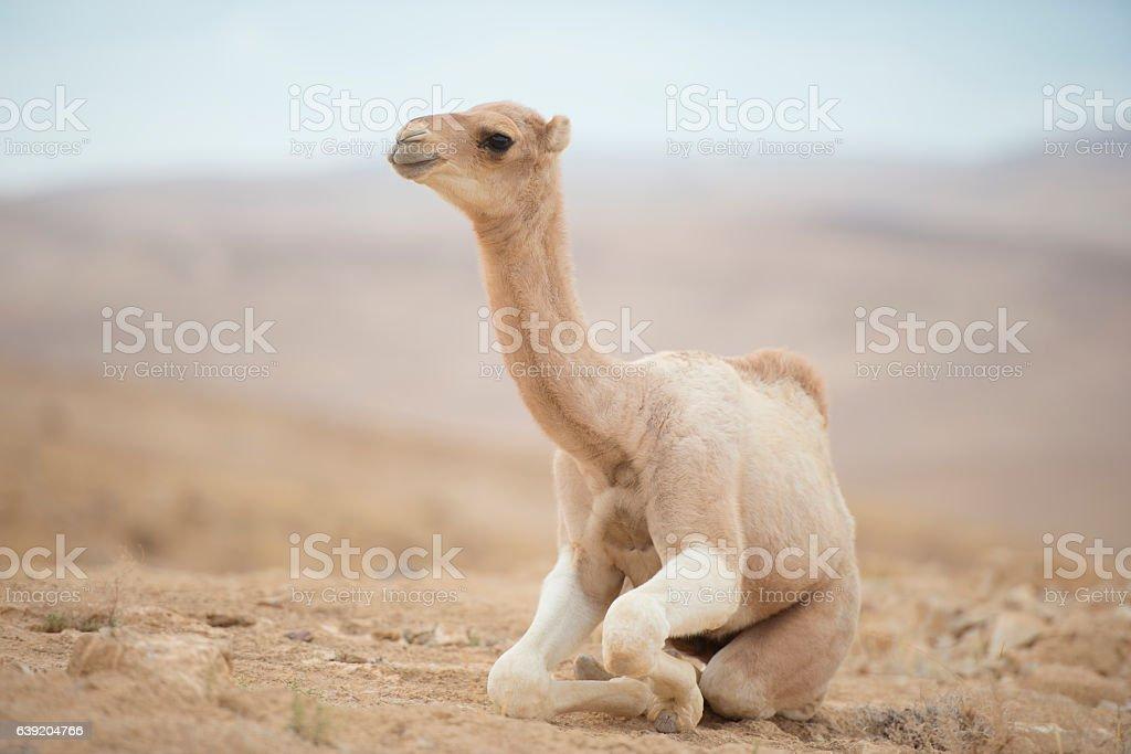 Full length camel calf sitting on the ground in the desert. stock photo