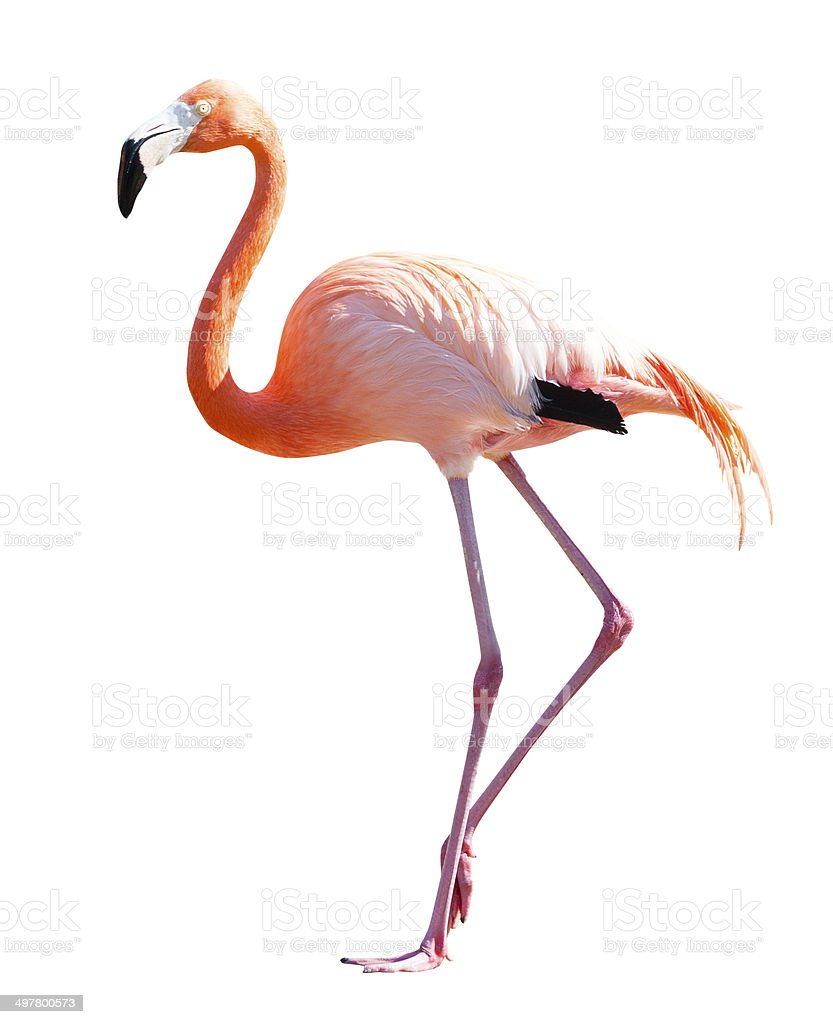 Full Length of Flamingo over white stock photo
