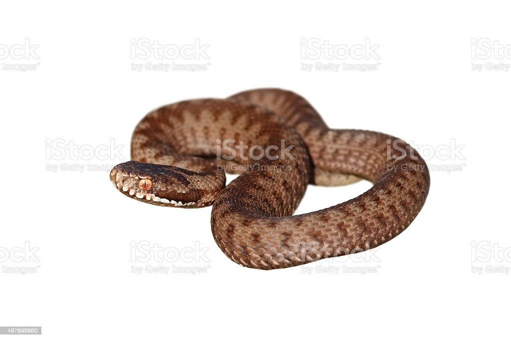 full length on european common adder isolated on white stock photo