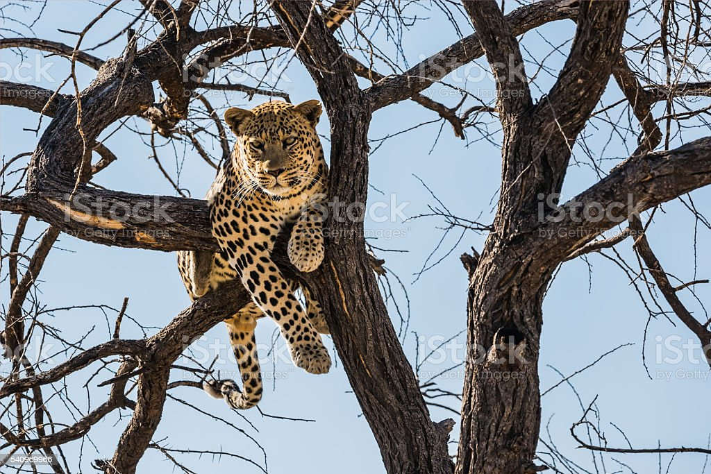 Full leopard sitting on a tree branch stock photo
