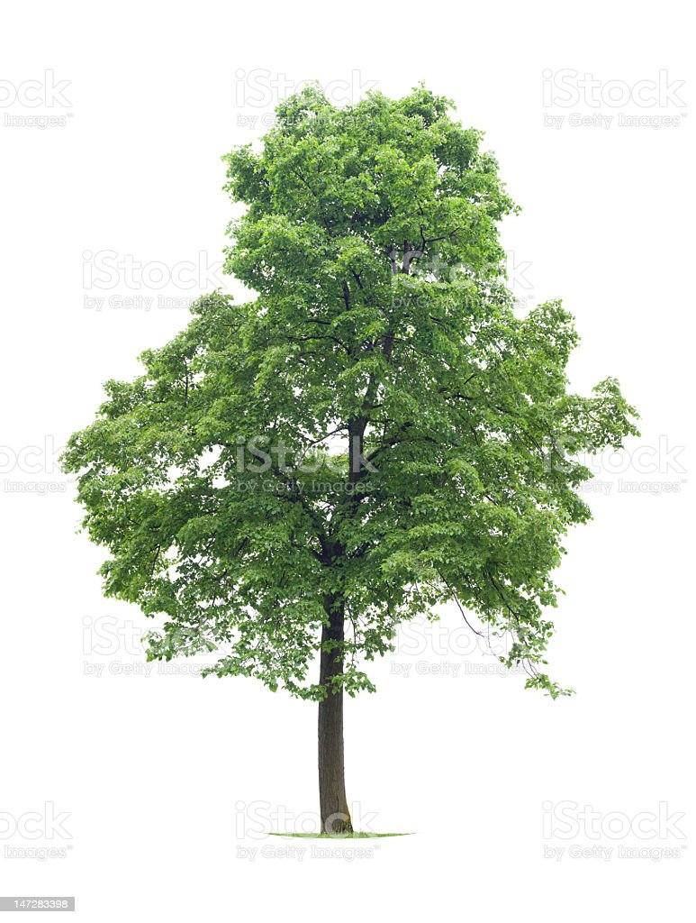A full Linden tree isolated on a white background stock photo
