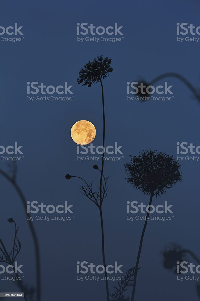Full Moon and Queen Anne's Lace stock photo
