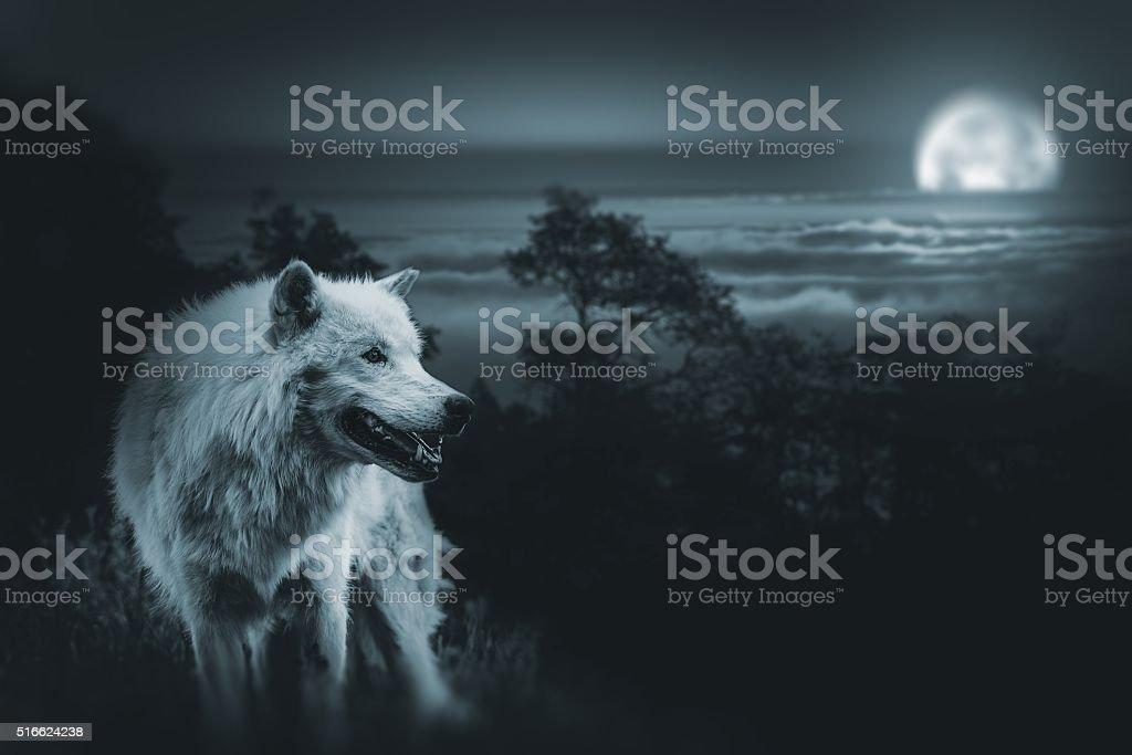 Full Moon Wolf Hunt stock photo