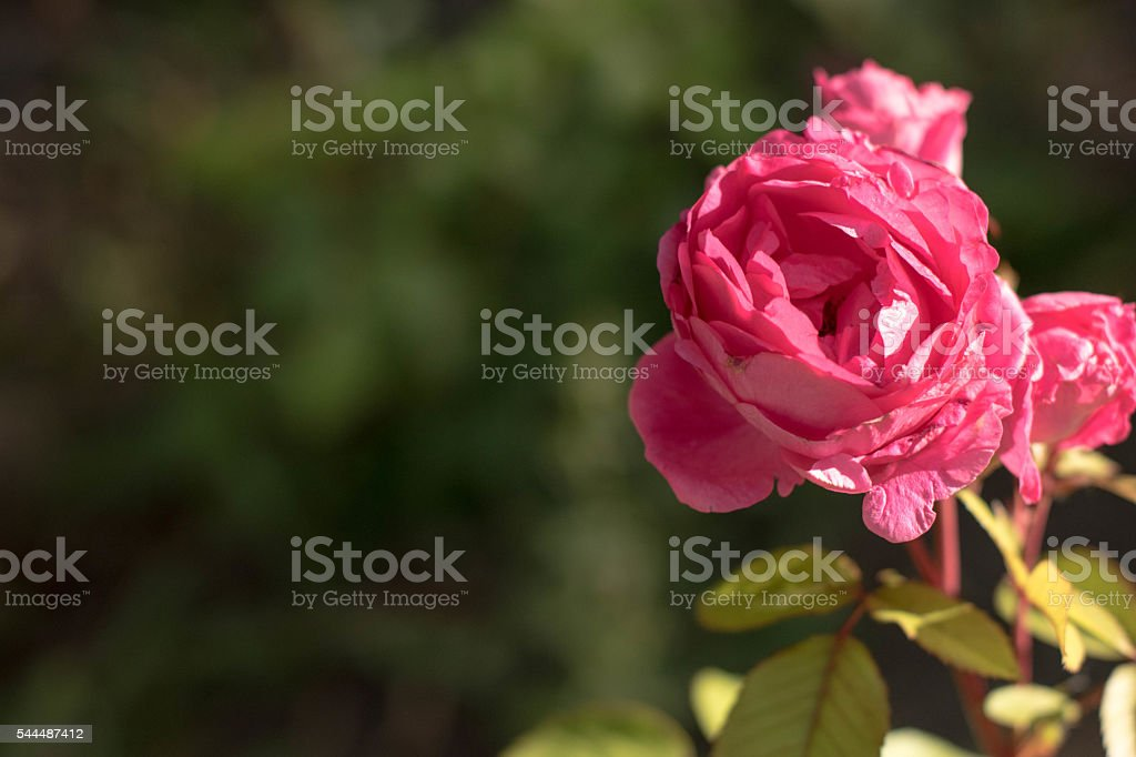 Full pink Rose on right stock photo