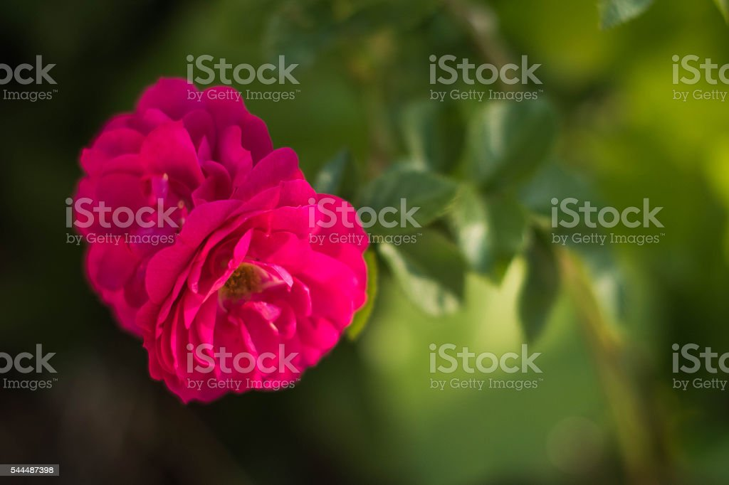 Full pink Roses on left in foreground stock photo