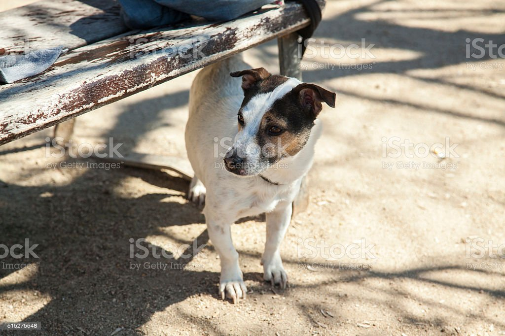Full shot jack russell terrier. stock photo