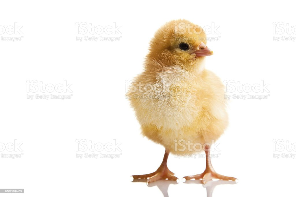 Full shot of a chick on white background stock photo