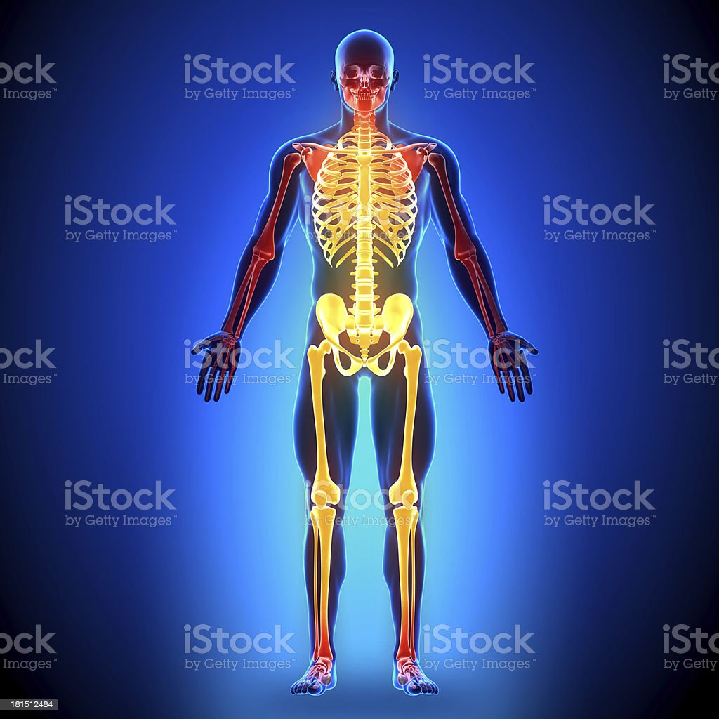 Full Skeleton - Anatomy Bones royalty-free stock photo