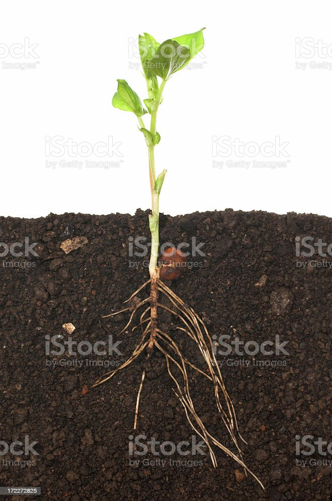 A full view of a seedling including the roots in the soil stock photo