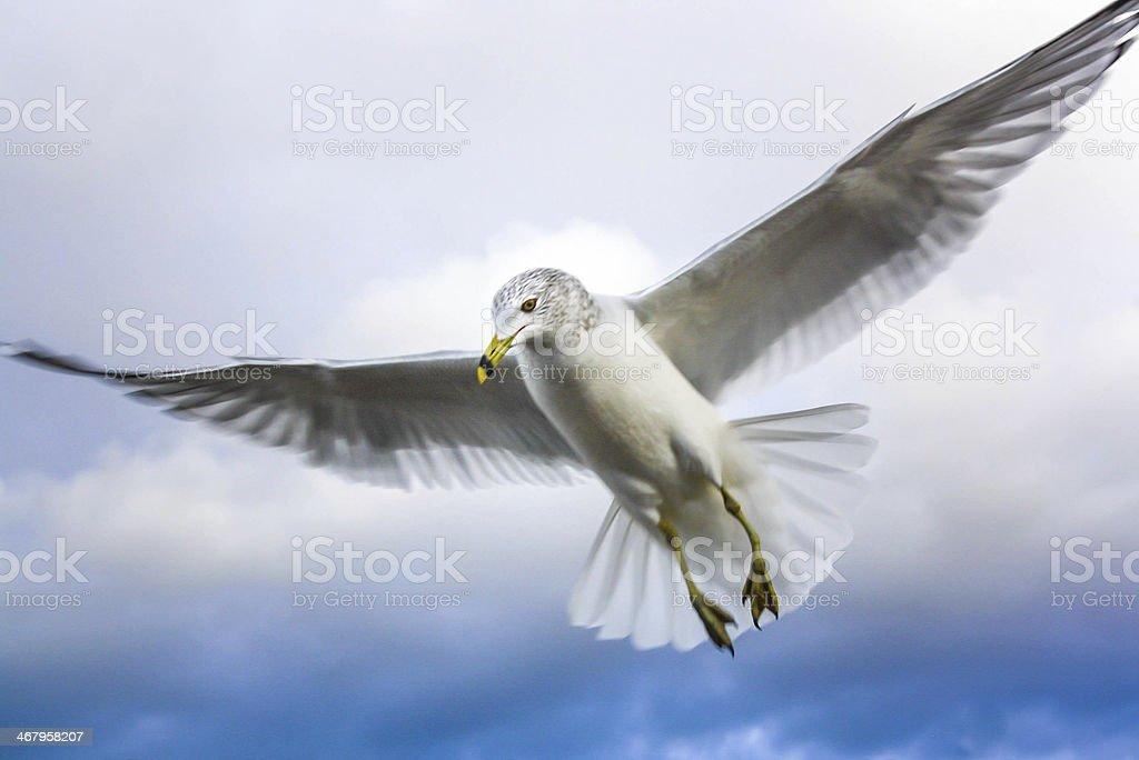 Full wing Seabird royalty-free stock photo