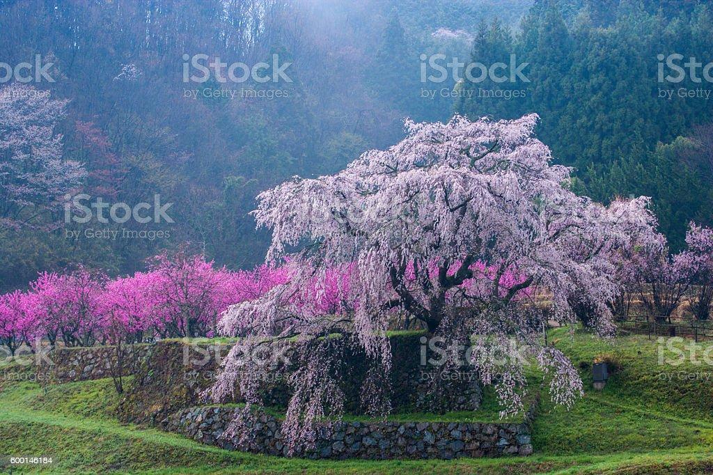 Full-blown big weeping cherry tree stock photo