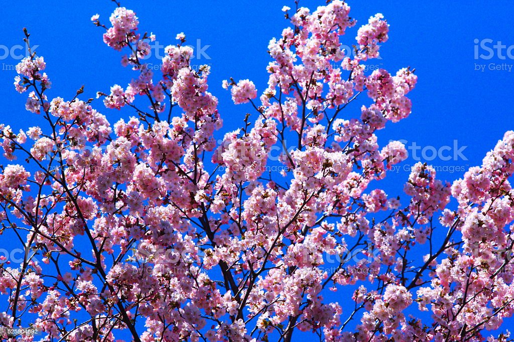 Full-blown cherry tree stock photo