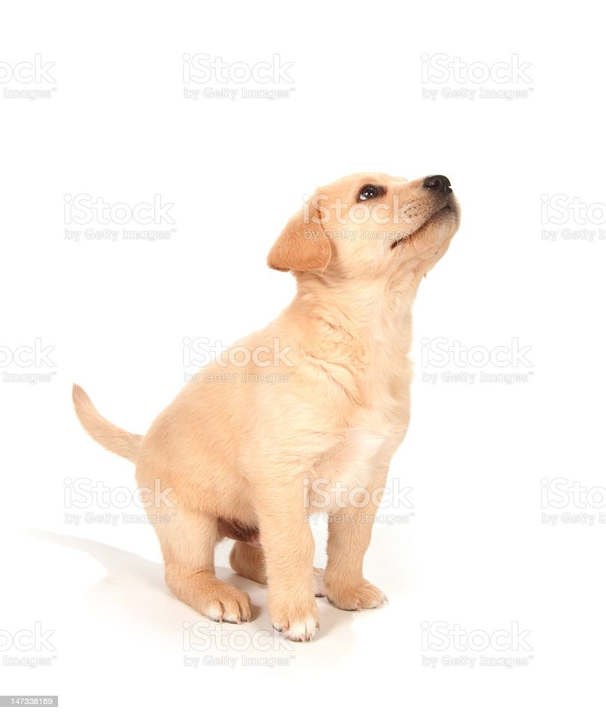 A full-body view of a puppy looking and perking up stock photo