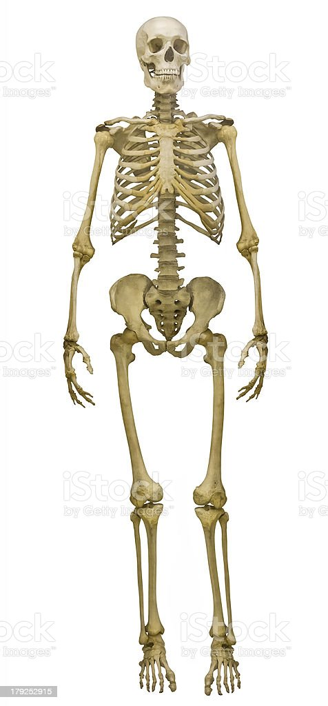 human skeleton pictures, images and stock photos - istock, Skeleton