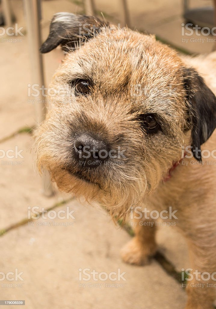 Full-face Portrait of Border Terrier Looking into the Camera royalty-free stock photo
