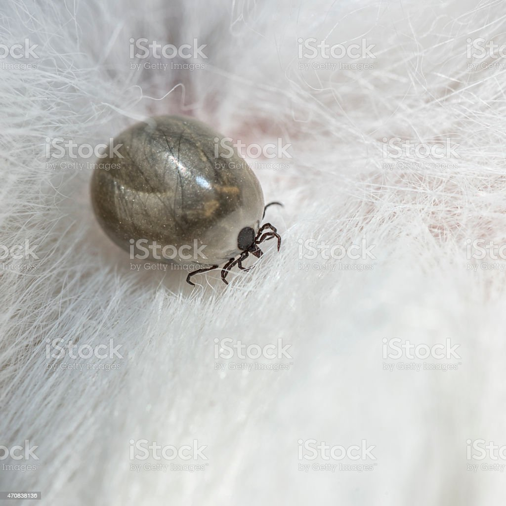 Fully Engorged Saturated Tick, Macro - Lyme Disease (XXXL) stock photo