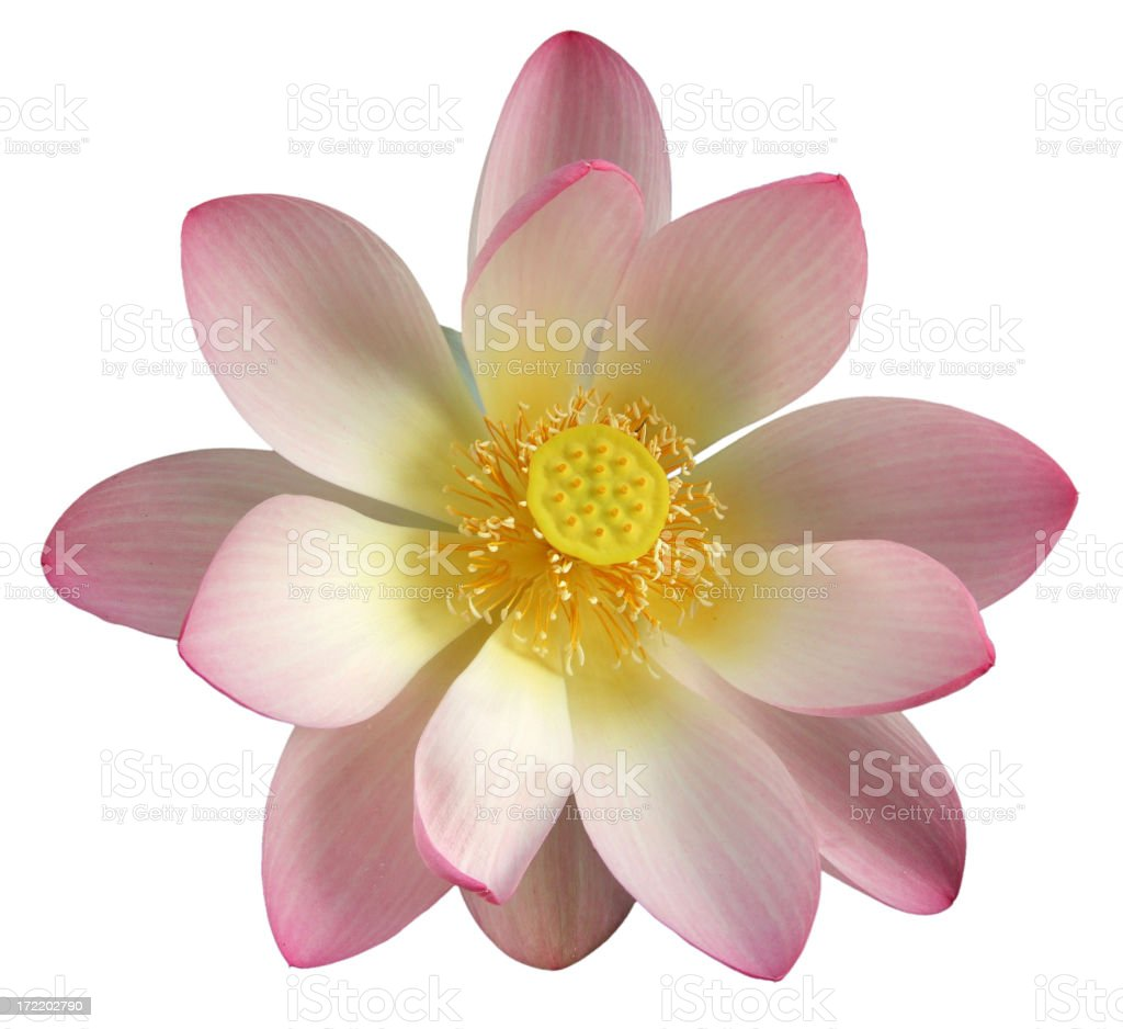 Fully open pink Lotus Flower against white background royalty-free stock photo