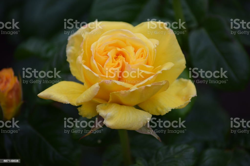 Fully open yellow Peace rose stock photo