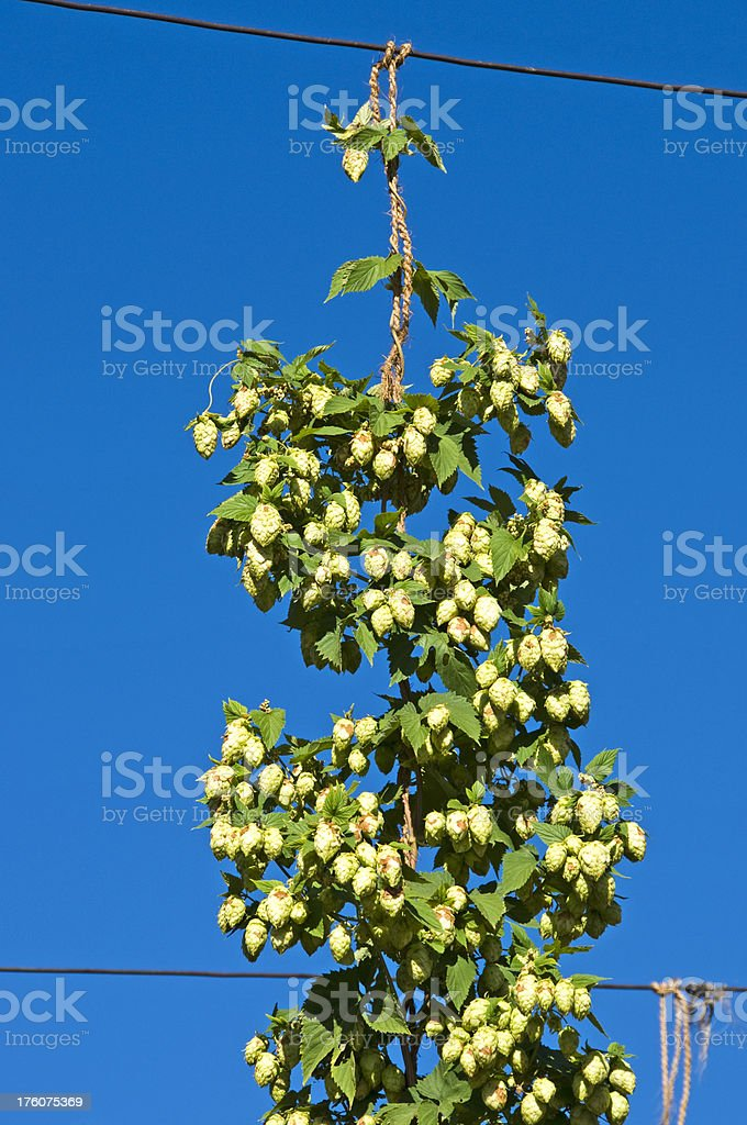 Fully-grown hop vine and cones hanging from wire stock photo