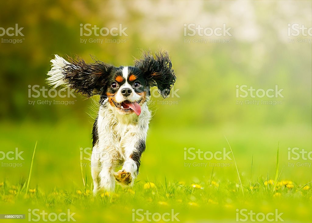 fun and beautiful cavalier king charles spaniel dog running stock photo