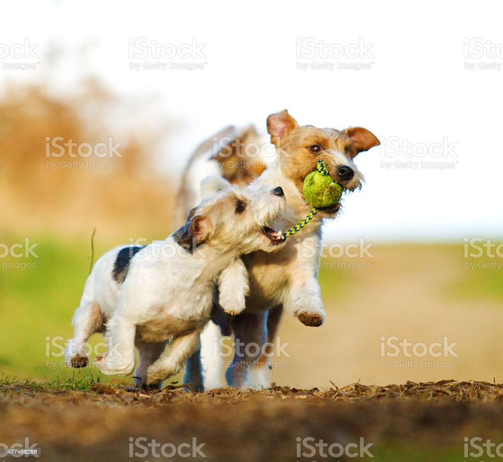 fun australian shepherd dog ( border collie ) running stock photo