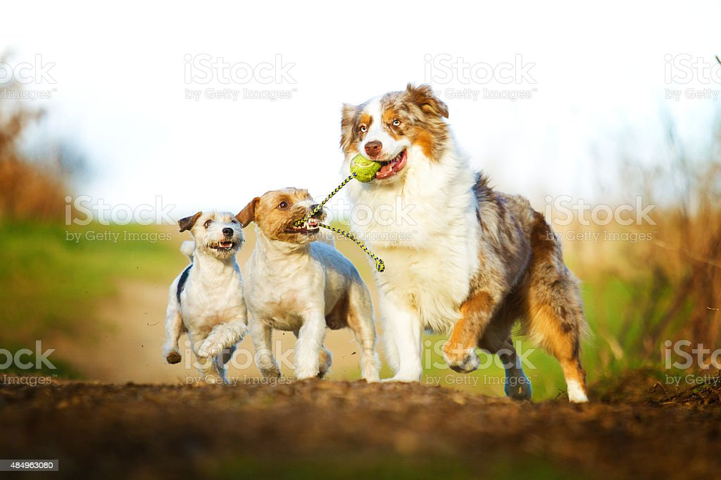 fun australian shepherd dog  running with Parson terrier stock photo