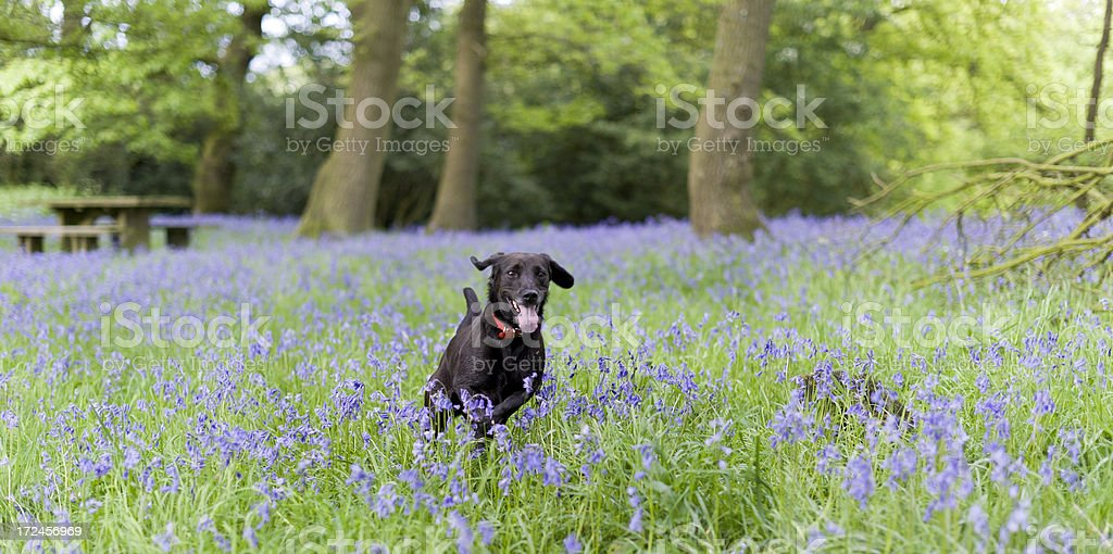 Fun in the bluebells royalty-free stock photo