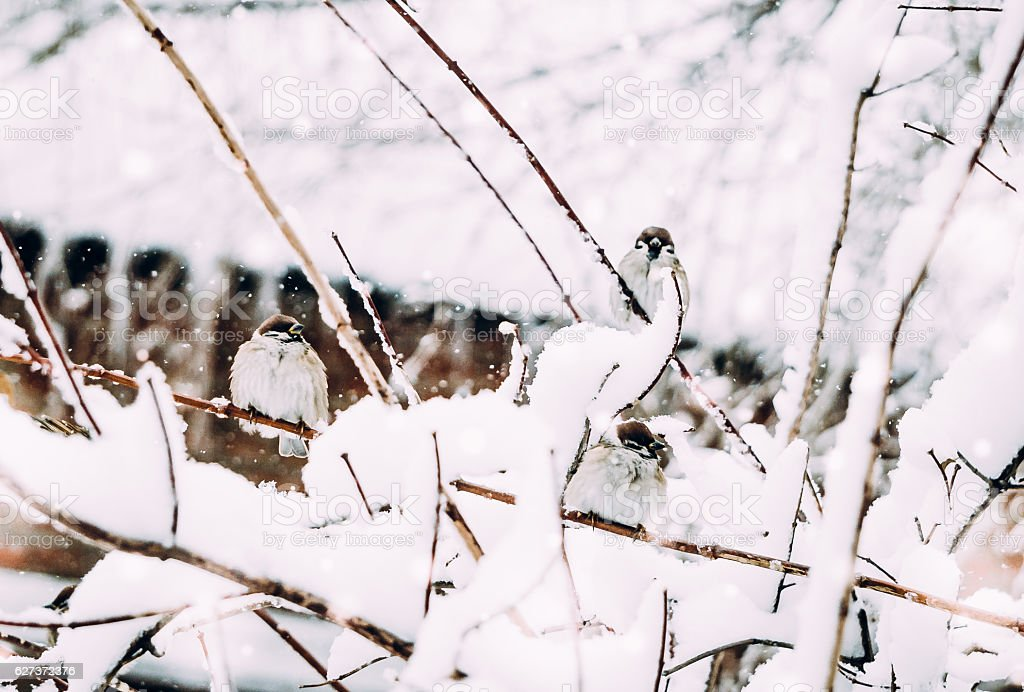 Fun in the snow.  flock of sparrows in winter garden stock photo