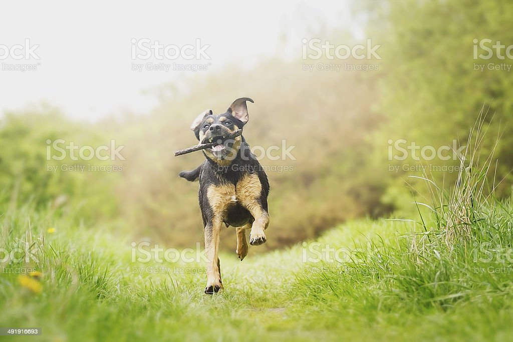 fun rottweiler puppy running stock photo