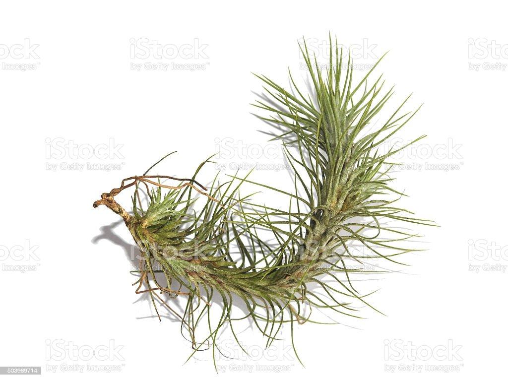 Funckiana Air de plantes et de racines isolé sur blanc photo libre de droits