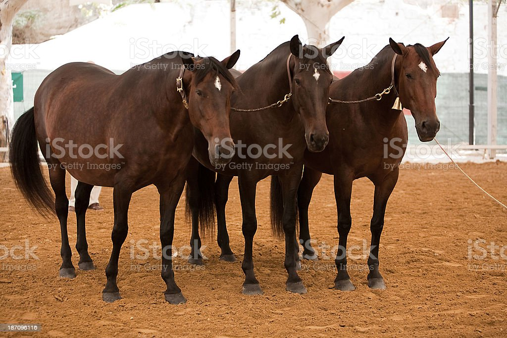 Functionality testing of horses purebred Spanish, Spain royalty-free stock photo