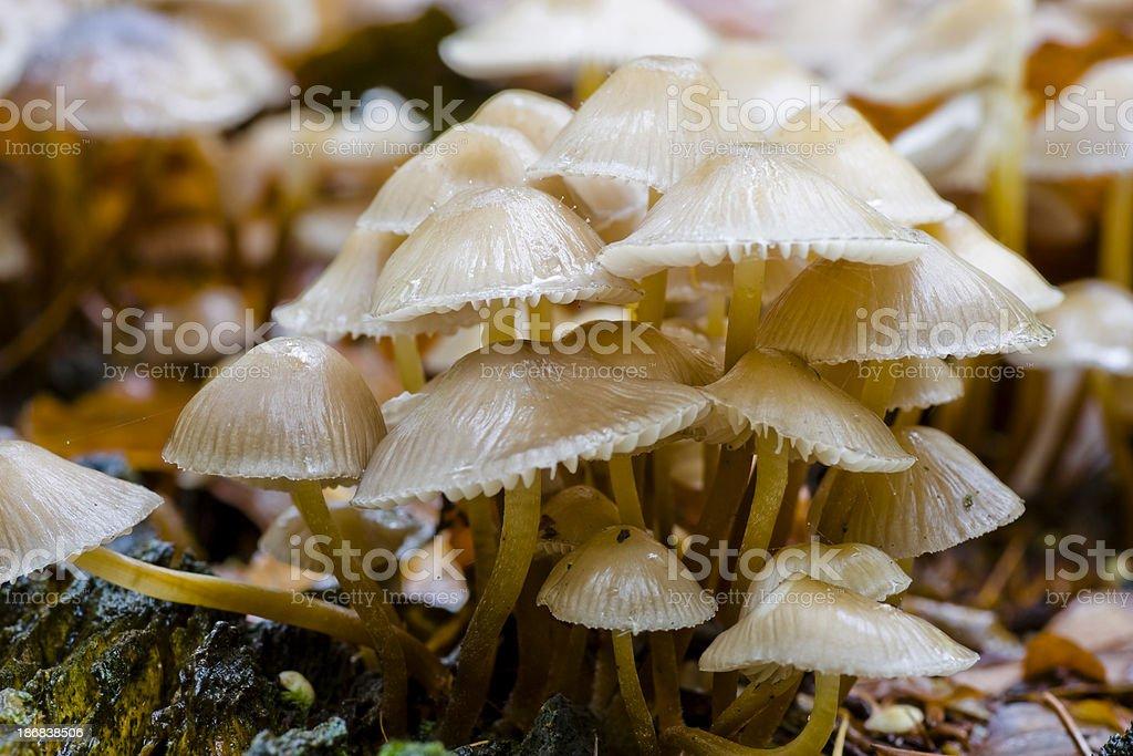 Fungi - Clustered bonnet stock photo
